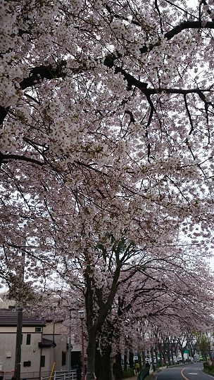 SakuraFesOkubo2016b.jpg