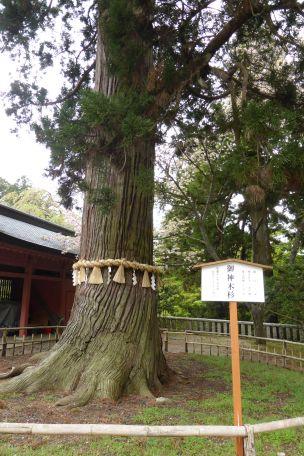 goshinboku304a.jpg