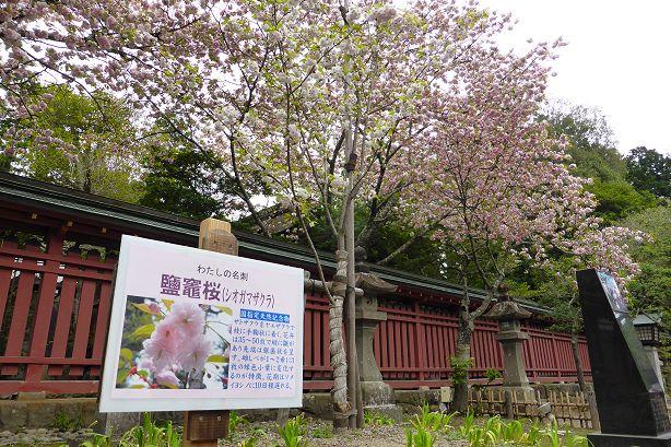 shiogamasakura614.jpg
