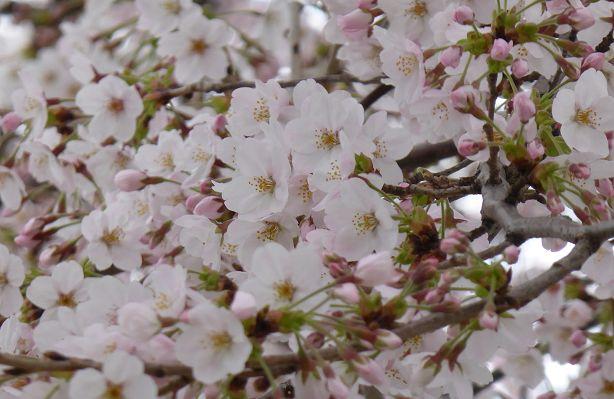 SakuraFesOkubo2016.jpg